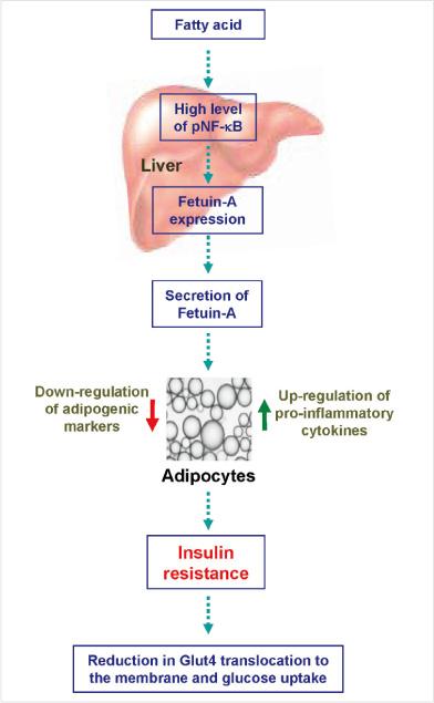 Fetuin-Aによるアディポネクチン産生抑制を介したインスリン抵抗性誘導の図説