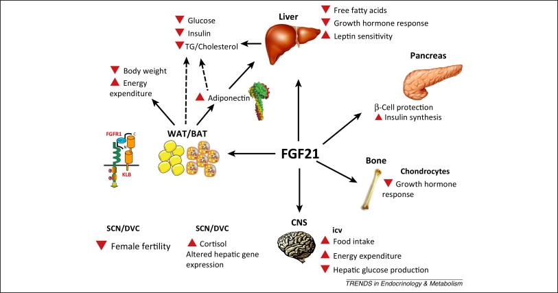 FGF-21の多彩な作用をまとめた図