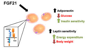 FGF-21のアデイポネクチン分泌促進 レプチン感受性増大作用を示した図