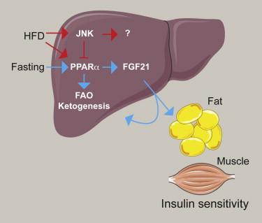 FGF21の産生を増加させる因子をまとめた図