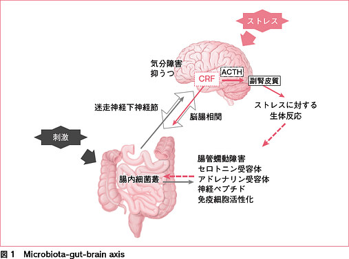 腸内細菌叢による脳への影響を示した図
