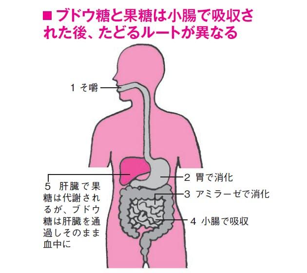 ブドウ糖と果糖の吸収後の動態の差異を示した図