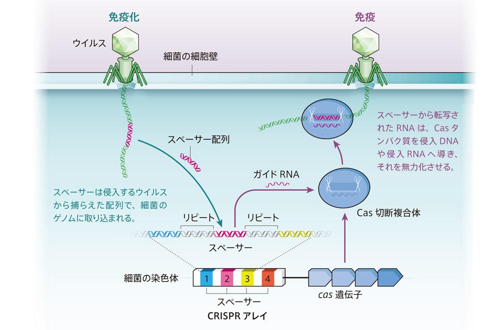 CRISPRアレイを用いた古細菌のウイルスに対する免疫システムの説明図