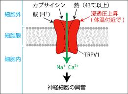 TRPV1が痛みを起こす機序の説明図