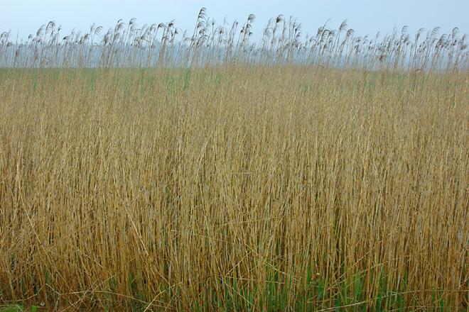 生い茂る葦