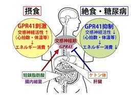 GPR41の作用をまとめた図