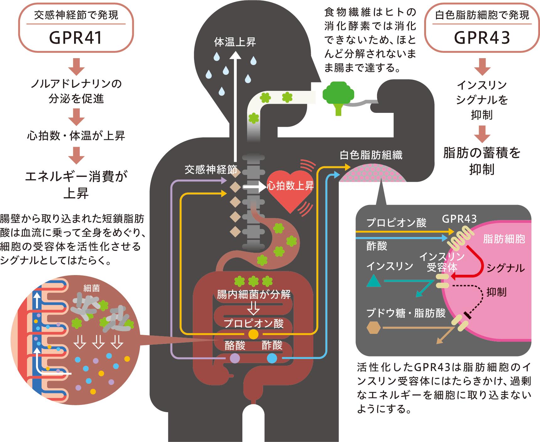 GPR43の作用をまとめた図