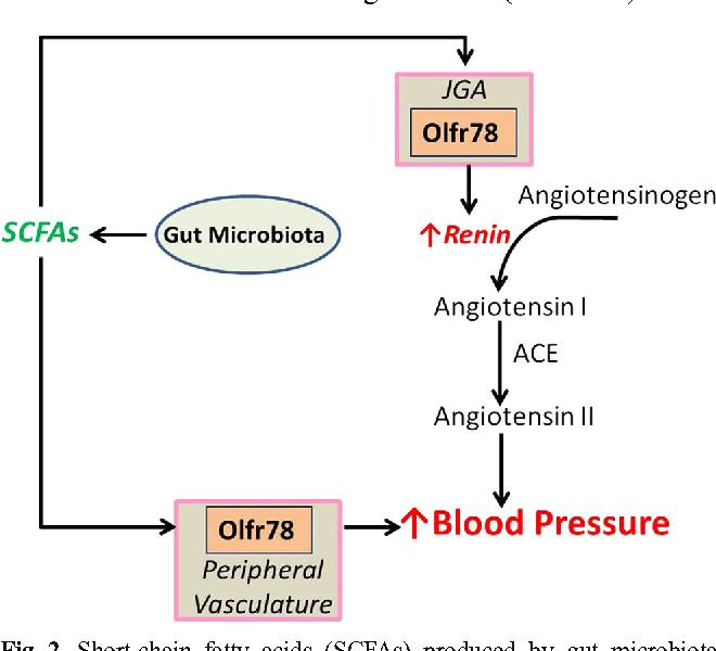 Olfr78の作用をまとめた図