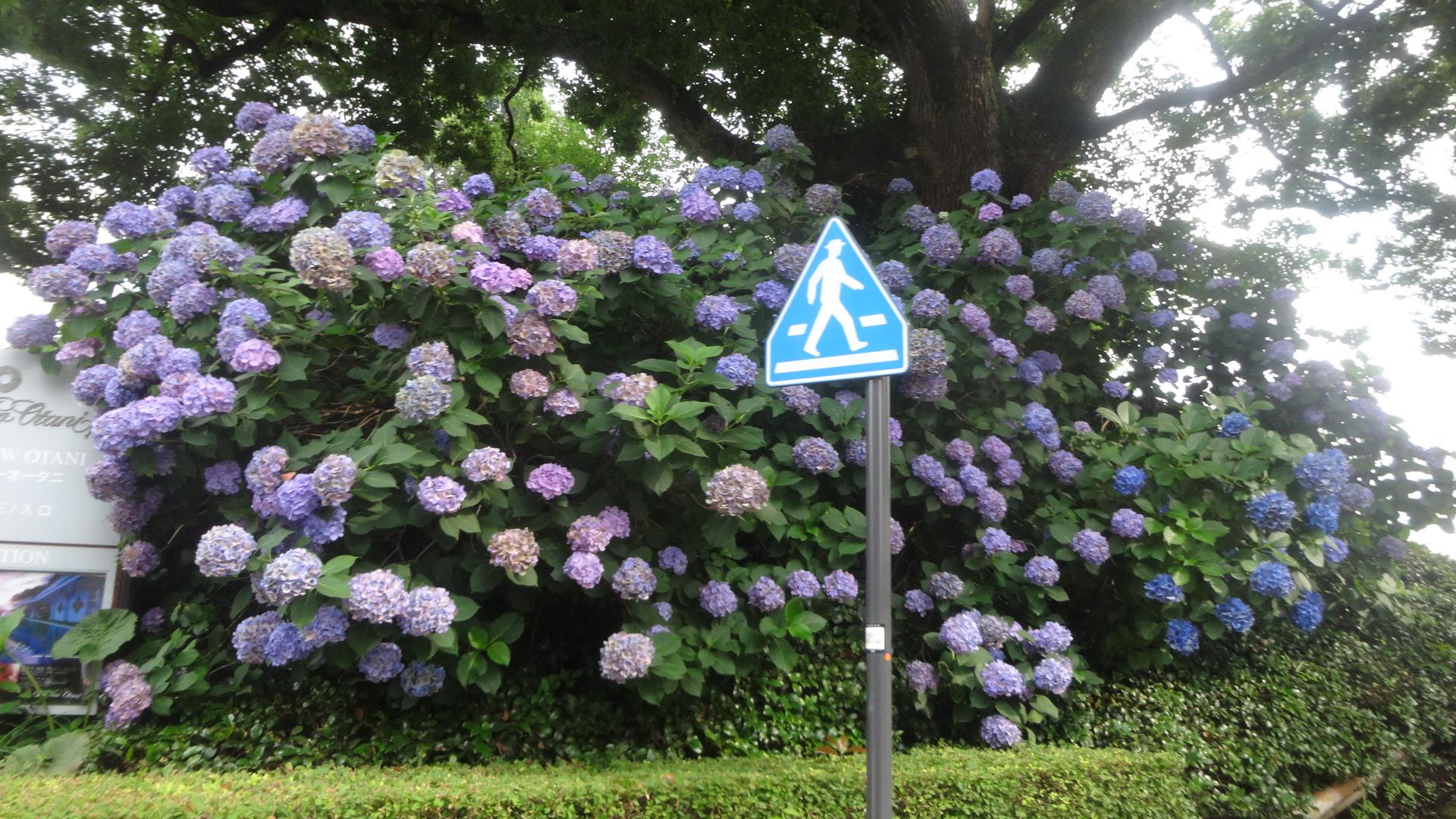 見事な紫陽花