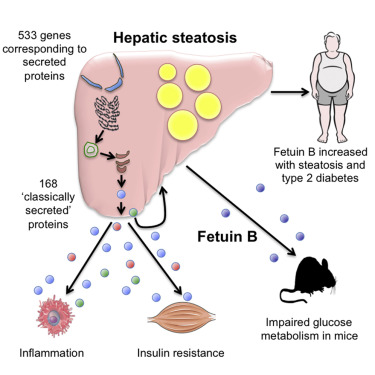 肝臓が分泌しているさまざまな因子の図示