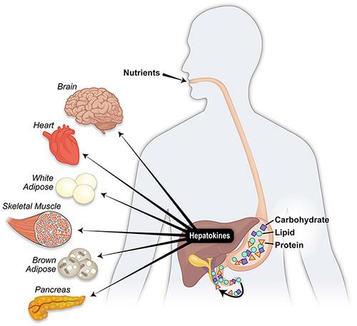 ヘパトカインが影響を及ぼすさまざまな臓器をまとめた図