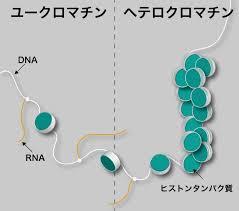 ユークロマチン ヘテロクロマチンの図示
