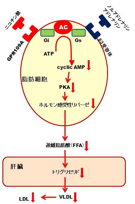 アドレナリン ノルアドレナリンなどがHSLに働きかける過程を示す図