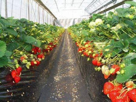 温室の中のイチゴ畑