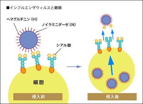 ウイルスが細胞内に侵入する機序を説明する図