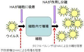 ノイラミニダーゼが作用してウイルスが細胞外に出ていく機序を示す図