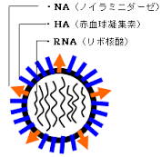 A型に発現している抗原を示す図