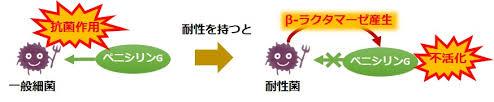 βラクタマーゼ産生によるペニシリン耐性の獲得を説明する図