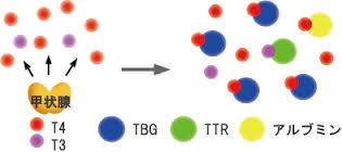 甲状腺ホルモンのタンパク質への結合様式