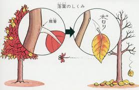 落葉の仕組み