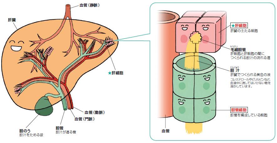 肝細胞と胆管細胞