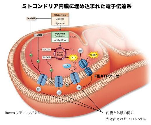 ミトコンドリア内膜に存在する電子伝達体の図