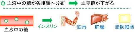 糖の筋肉 肝臓 脂肪組織への分布 取り込みを示す図