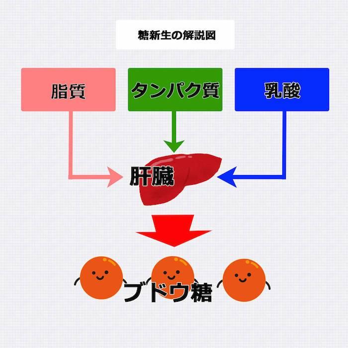 肝臓が空腹時に糖新生やグリコーゲン分解によりグルコースを放出する図