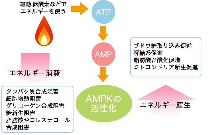 AMPKの作用をまとめた図