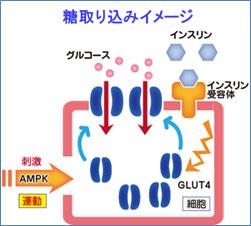 AMPKがGULT4の細胞内移動を活性化することを示す図