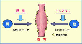 骨格筋では運動によりインスリン非依存性のグルコース取込みが促進することを示す図
