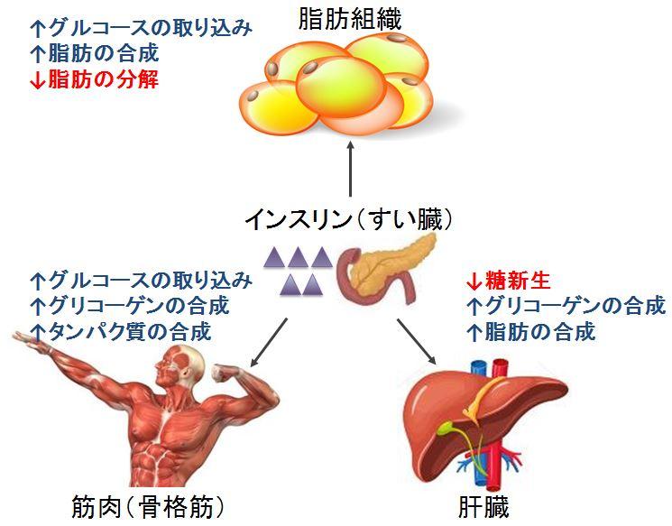 インスリンの脂肪への作用
