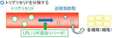 リポタンパク・リパーゼが血中の中性脂肪を分解して 遊離脂肪酸を組織内に取り込む過程を説明する図