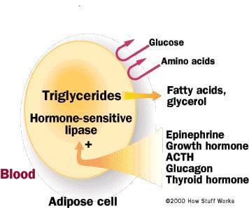ホルモン感受性リパーゼが各種ホルモンの作用により脂肪細胞内の中性脂肪を遊離脂肪酸とグリセリンに分解し血中に送り出す過程を示す図