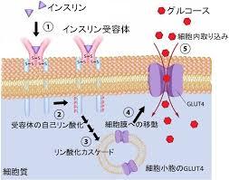 インスリンによりグルコースが細胞内に取り込まれる過程を示した図