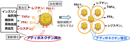 脂肪細胞の肥大化によりアディポネクチン分泌が低下するとインスリン抵抗性が進むことを示す図