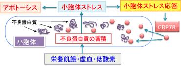 小胞体ストレス応答について説明した図