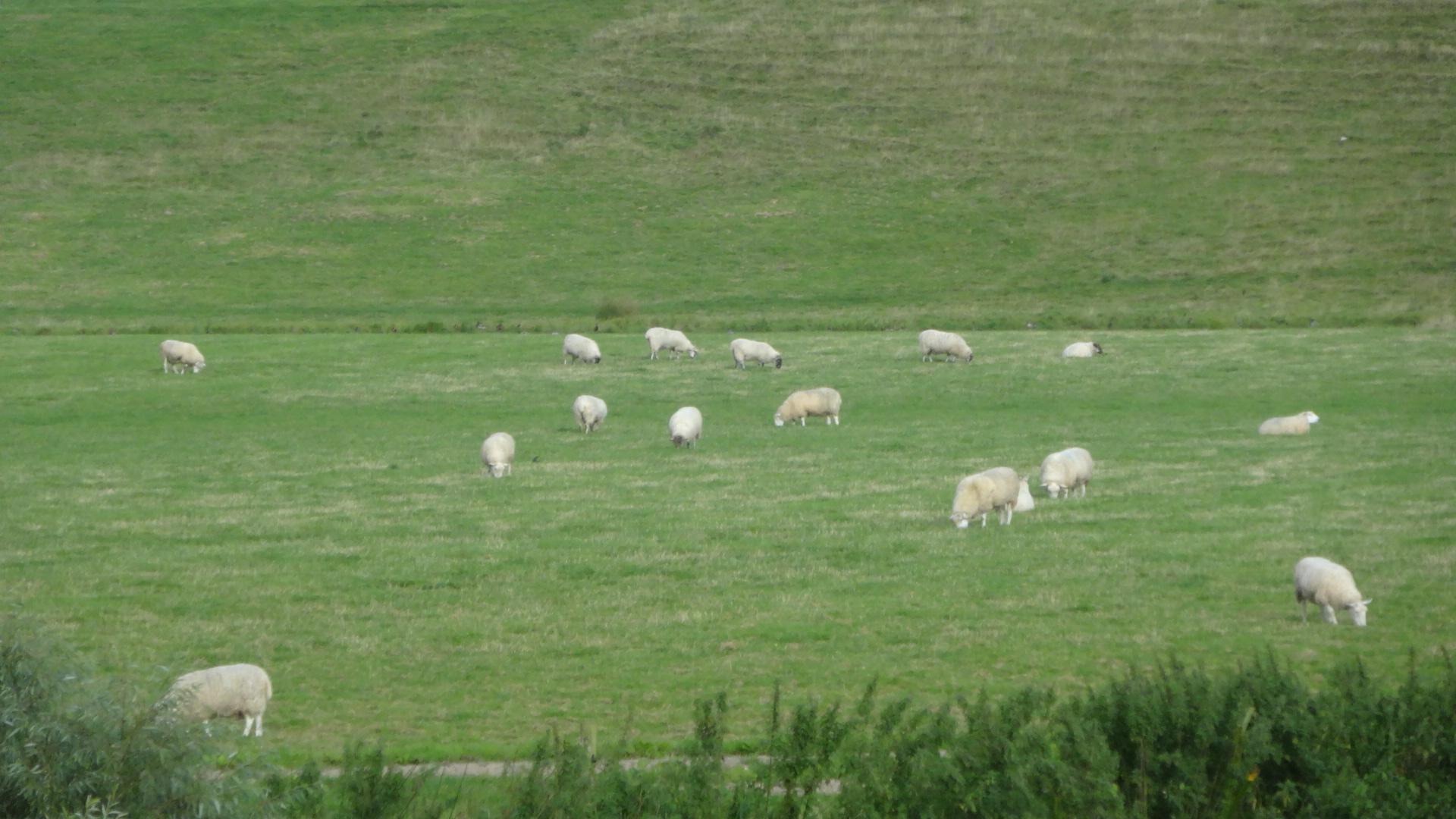 たくさんの羊さん1