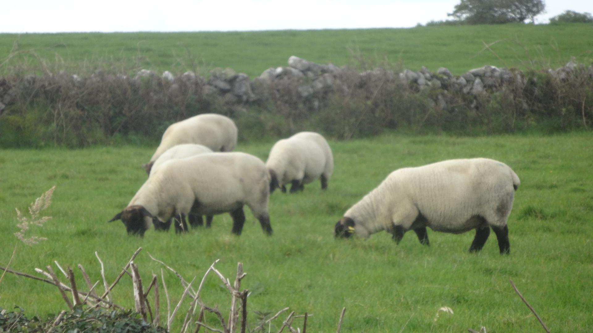 たくさんの羊さん2
