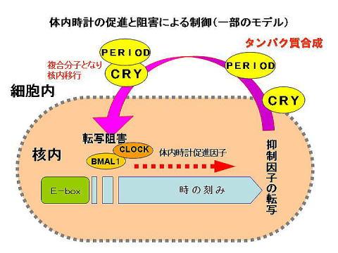 時計遺伝子によりサーカディアンリズムが形成される仕組みを示した図