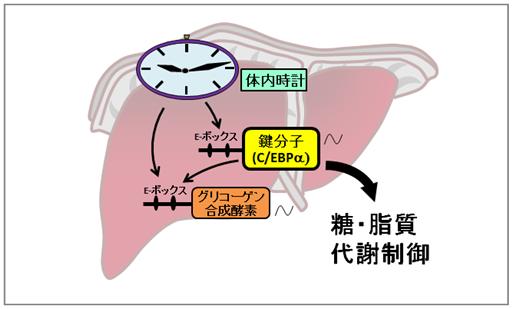 日内変動をつかさどる遺伝子が糖や脂質の代謝をつかさどる酵素の働きに影響を及ぼしていることを示す図