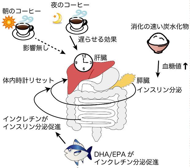 摂取する食物 栄養素の違いによって体の日内変動に影響が出てくることを説明する図