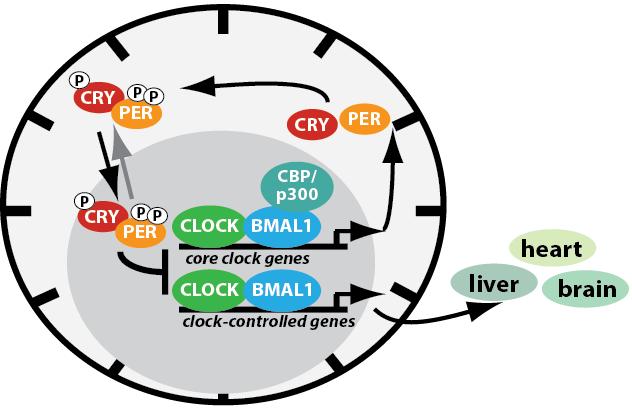 時計遺伝子が栄養素の代謝に関わる多くの因子の発現に関わることを示す図