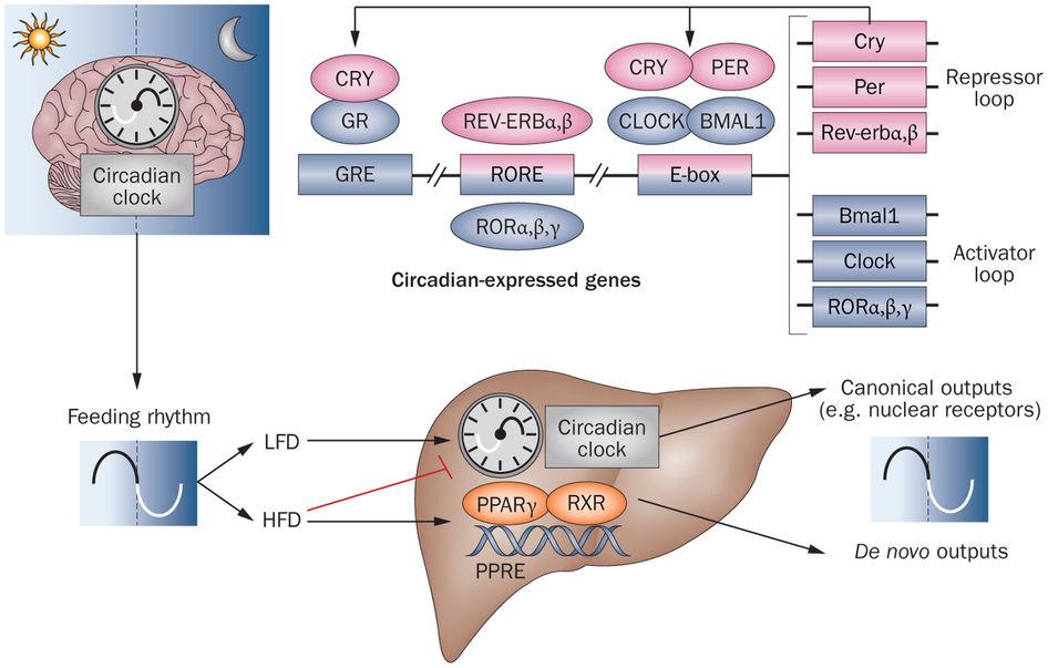 CLOCKによる脂質代謝関連酵素の発現概日リズムの制御を示した図