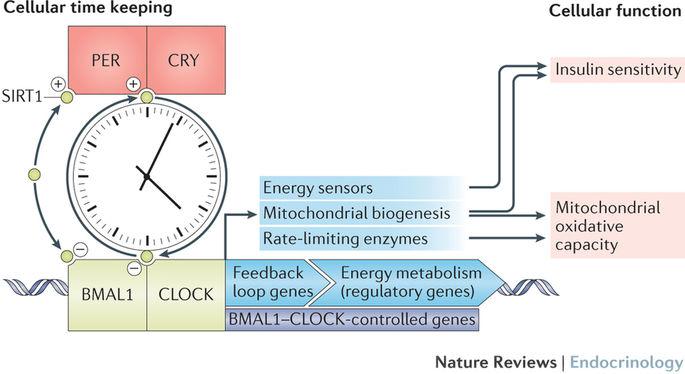 CRYによるインスリン分泌の日内変動制御を示す図