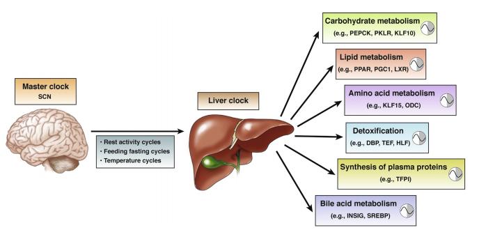 肝臓の細胞の体内時計がさまざまな栄養素により調節されることを示す図