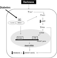 糖尿病で見られる時計遺伝子群の発現量低下 リズムの消失をまとめた図
