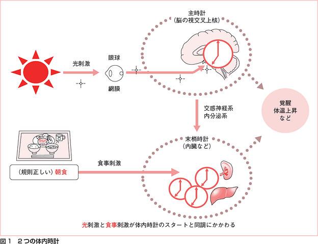脳の中枢時計は光でリセットされ 末梢性の細胞レベルの体内時計は食事によってリセットされることを示す図