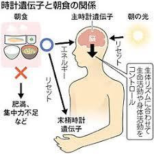 朝食は体内時計リズムの形成に重要な働きを示すことの解説図