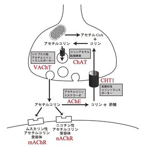 アセチルコリンの合成過程を示す図